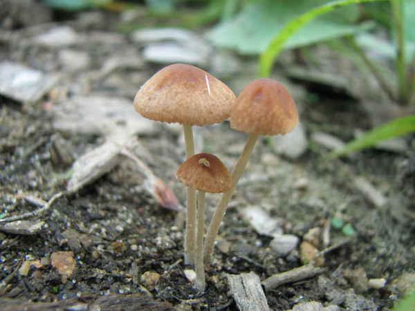 Pholiotina smithii - W...