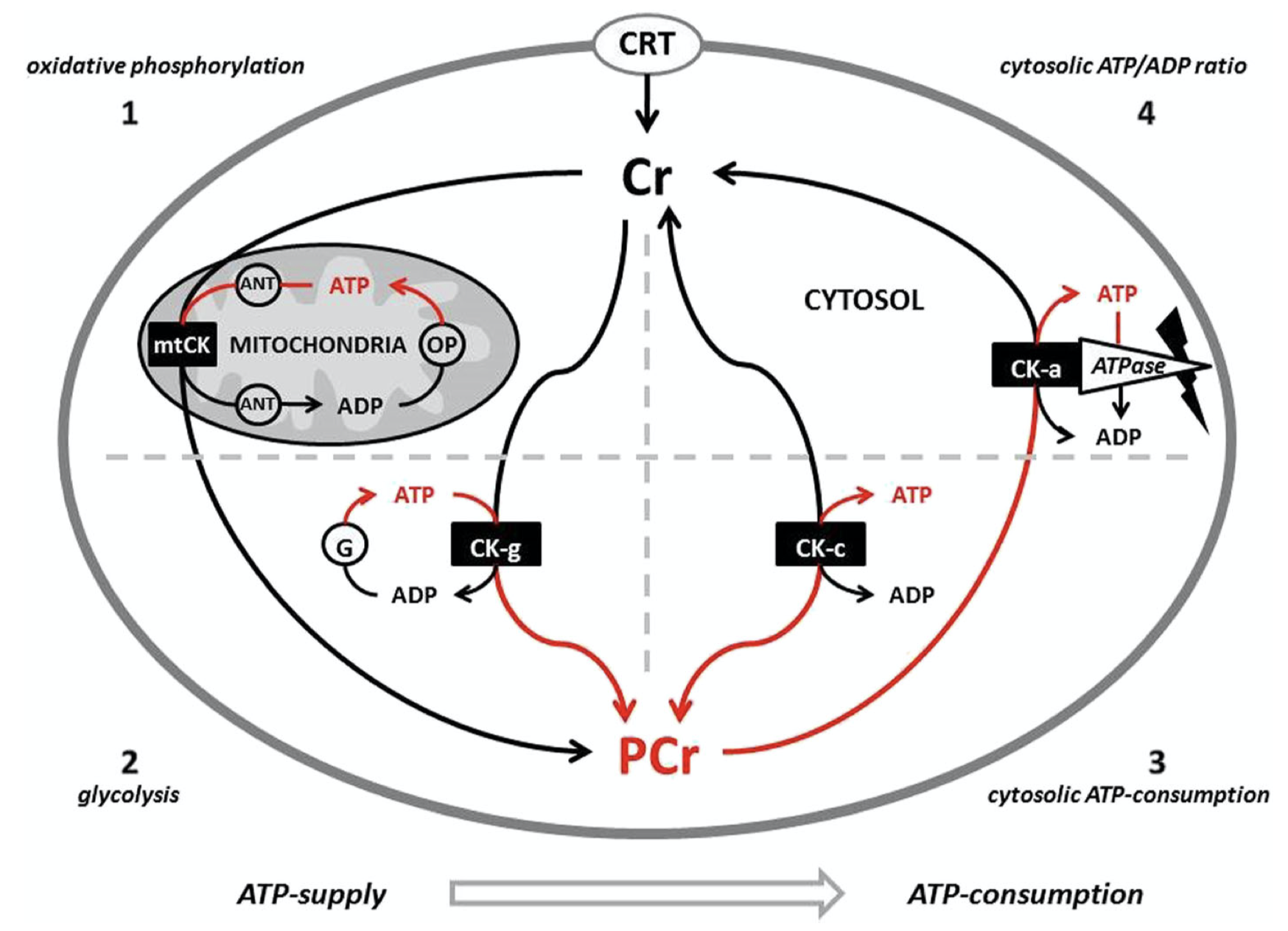 This image shows the creatine pathway within your body with the use of creatine kinase.