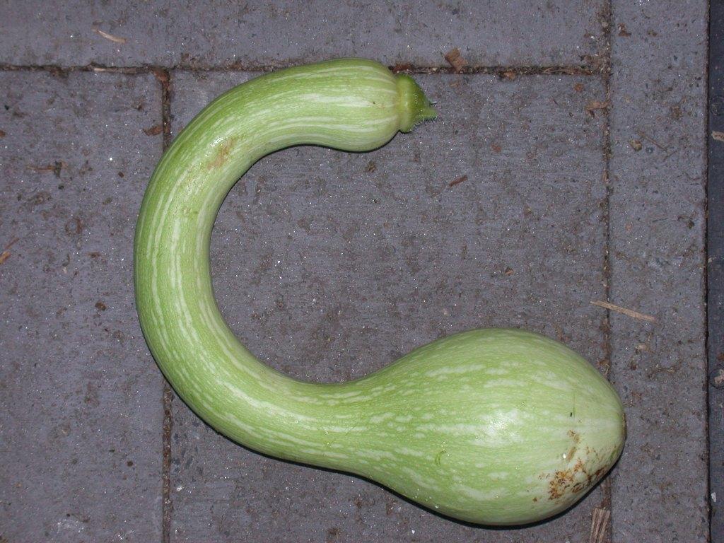 File:Cucurbita moschata
