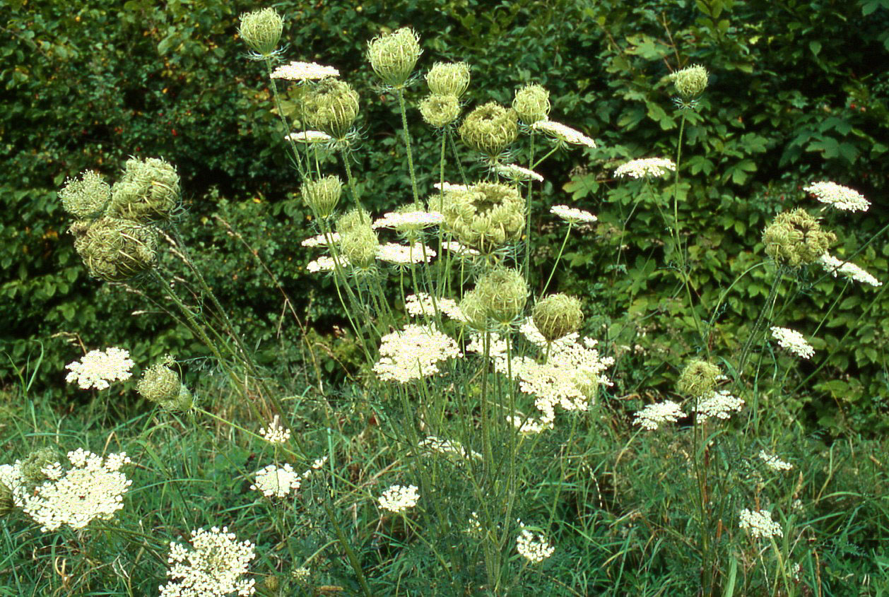 file daucus wikimedia commons