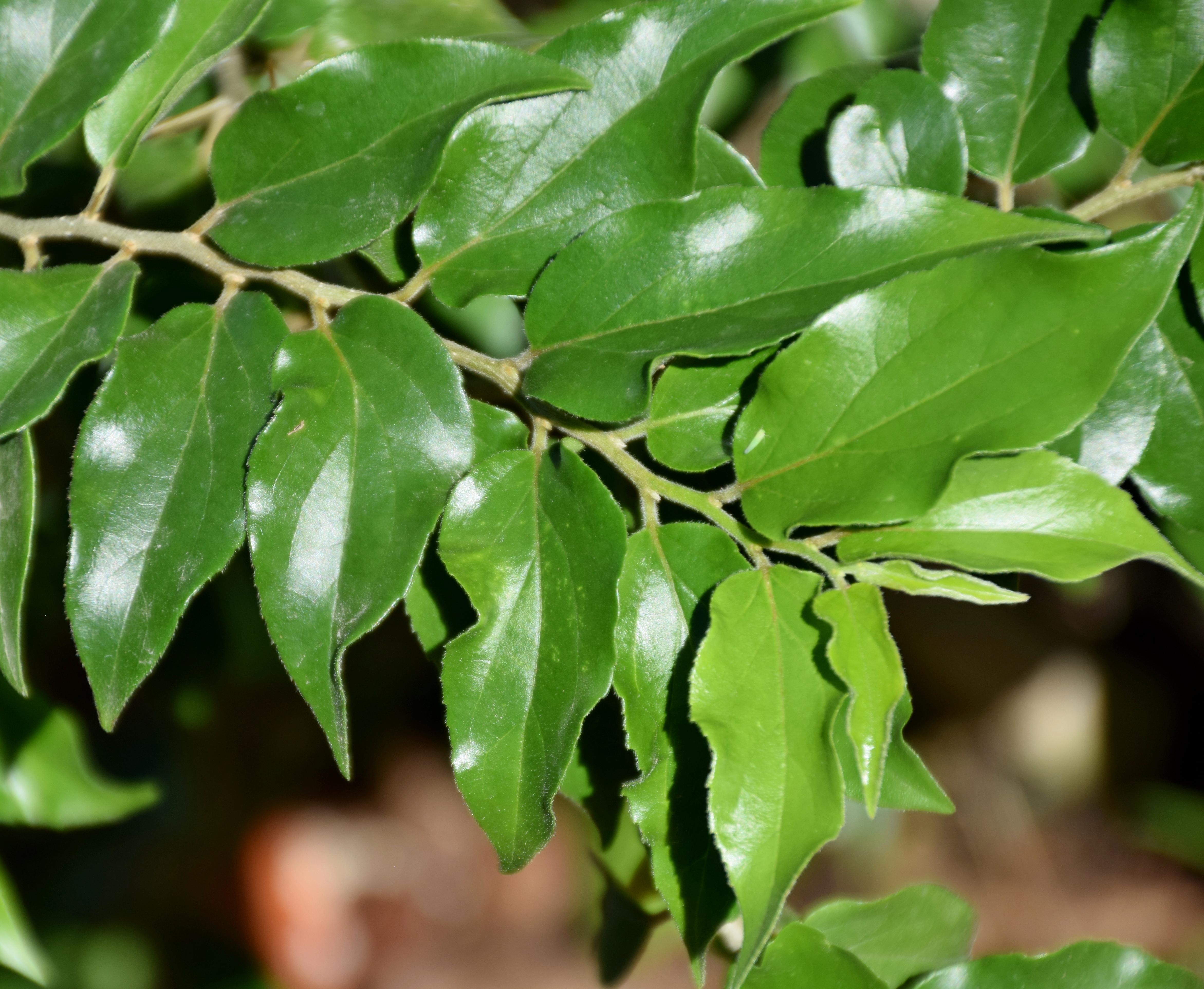 File dovyalis hebecarpa in jardin des plantes de toulouse wikimedia commons - Toulouse jardin des plantes ...