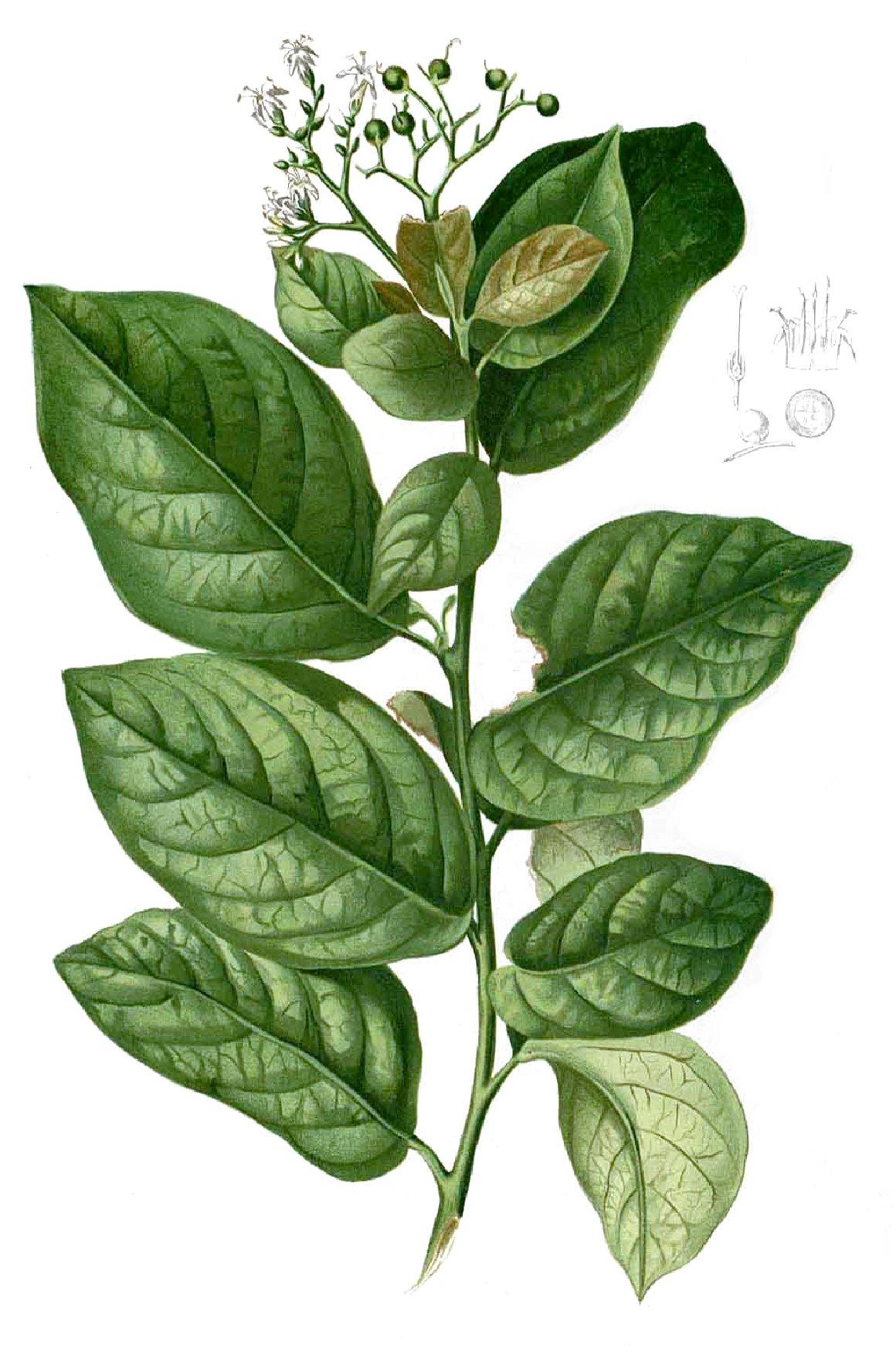 Erethia
