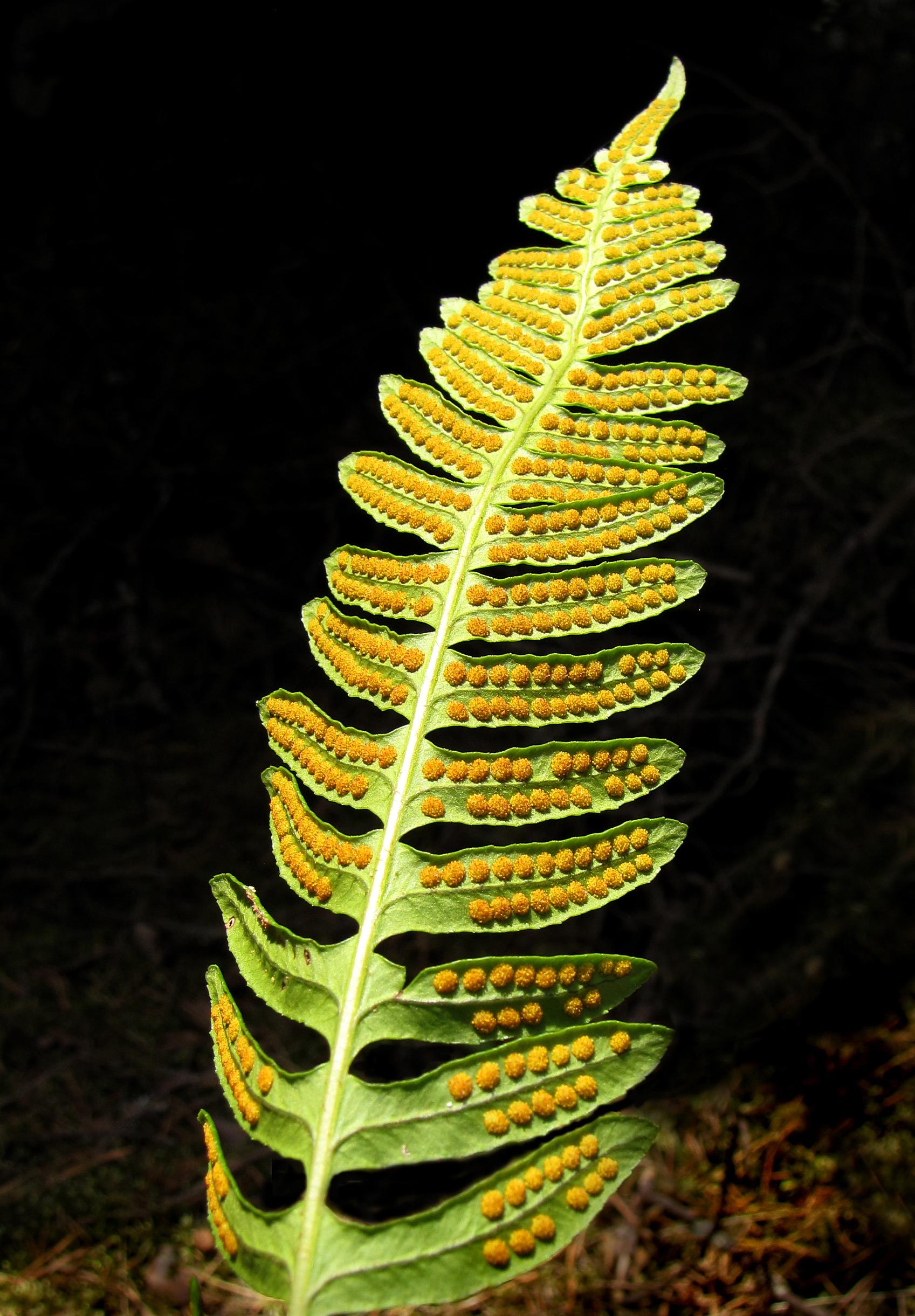 Вищі спорові рослини overview of higher spore
