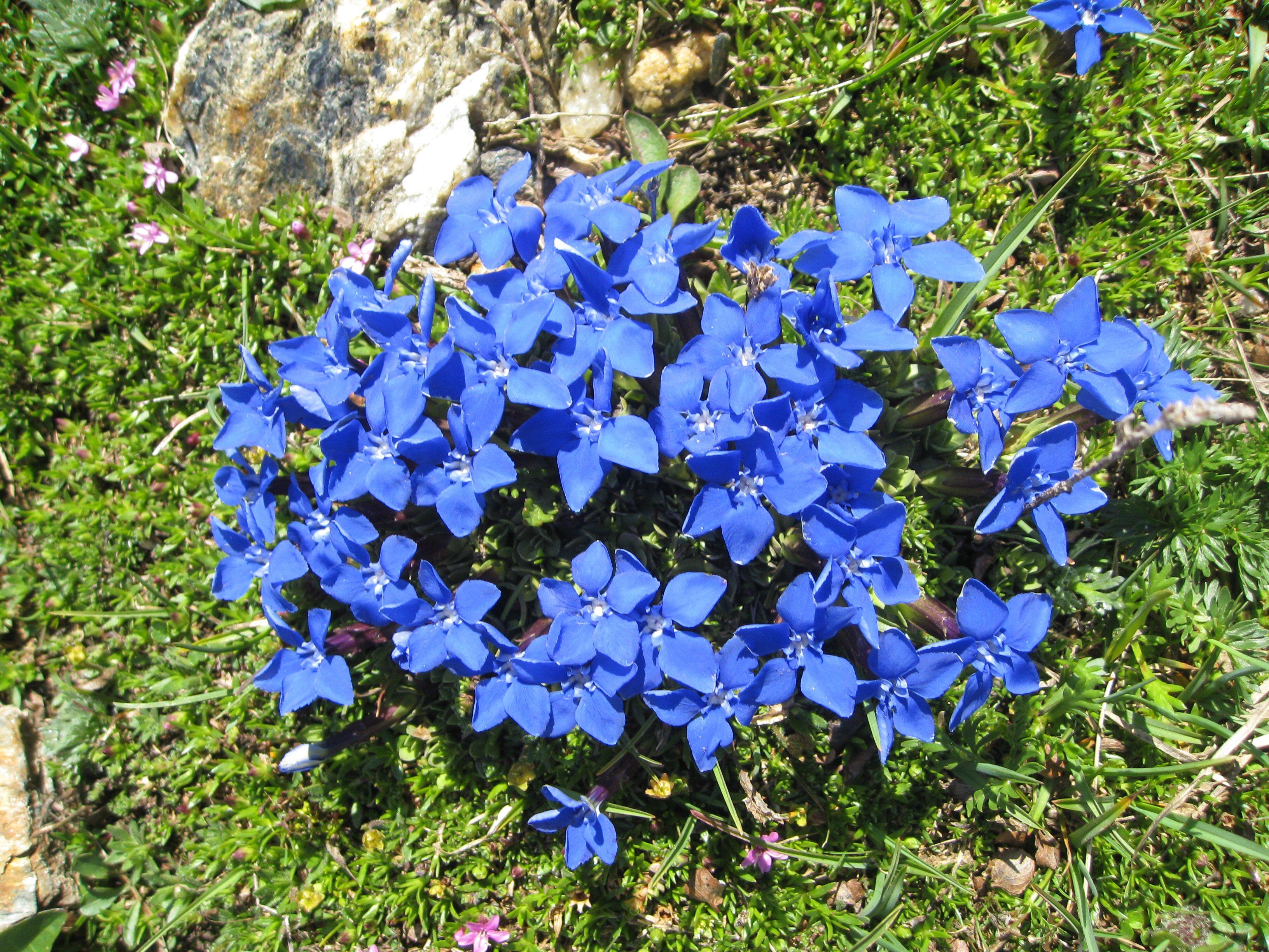 Горечавка цветов