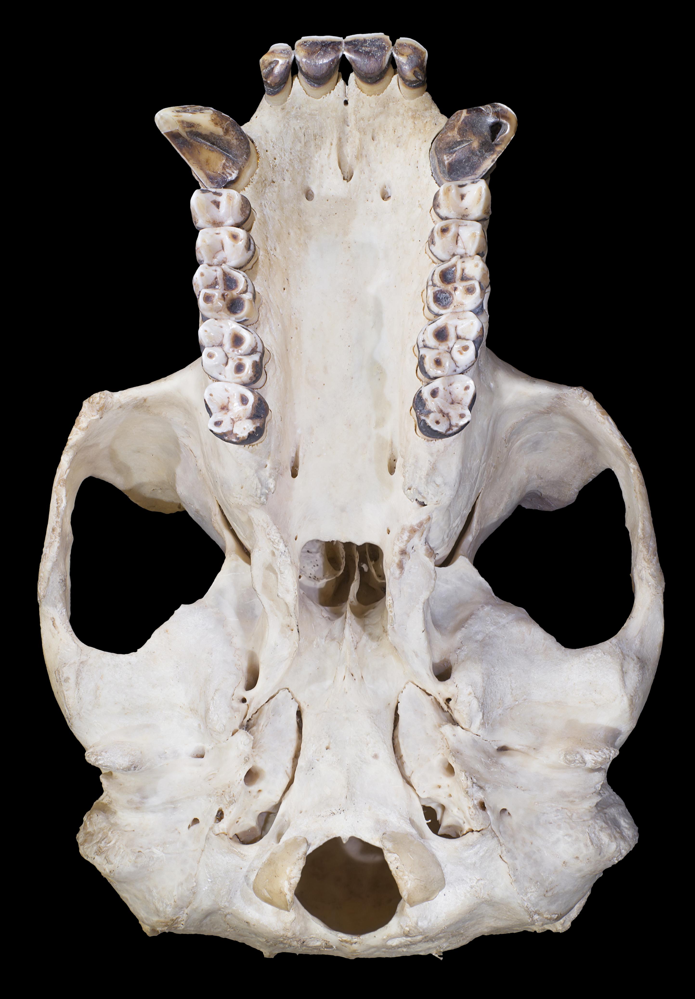 File:Gorilla Male skull base.png - Wikimedia Commons