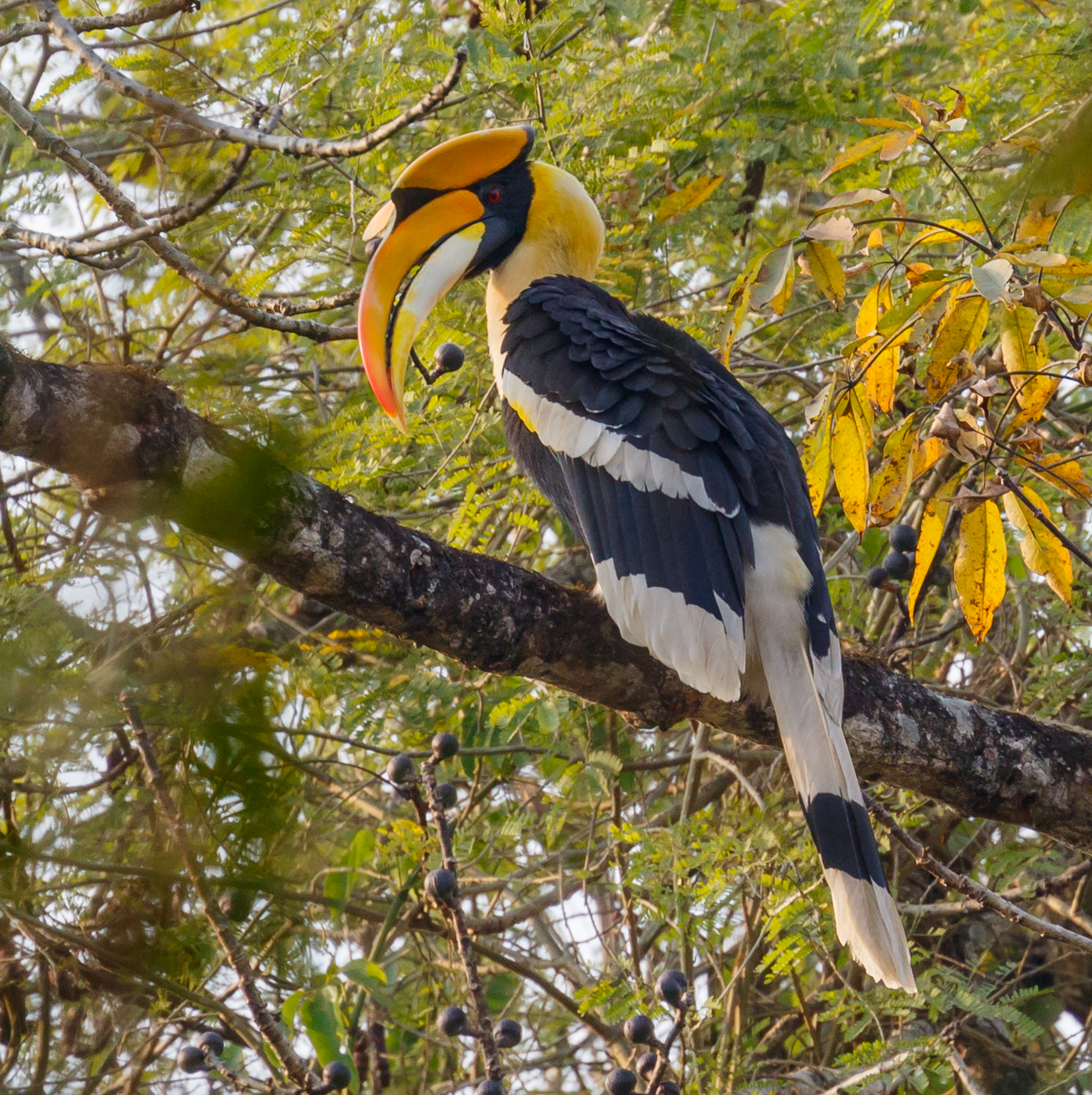 Great Hornbill Wikipedia