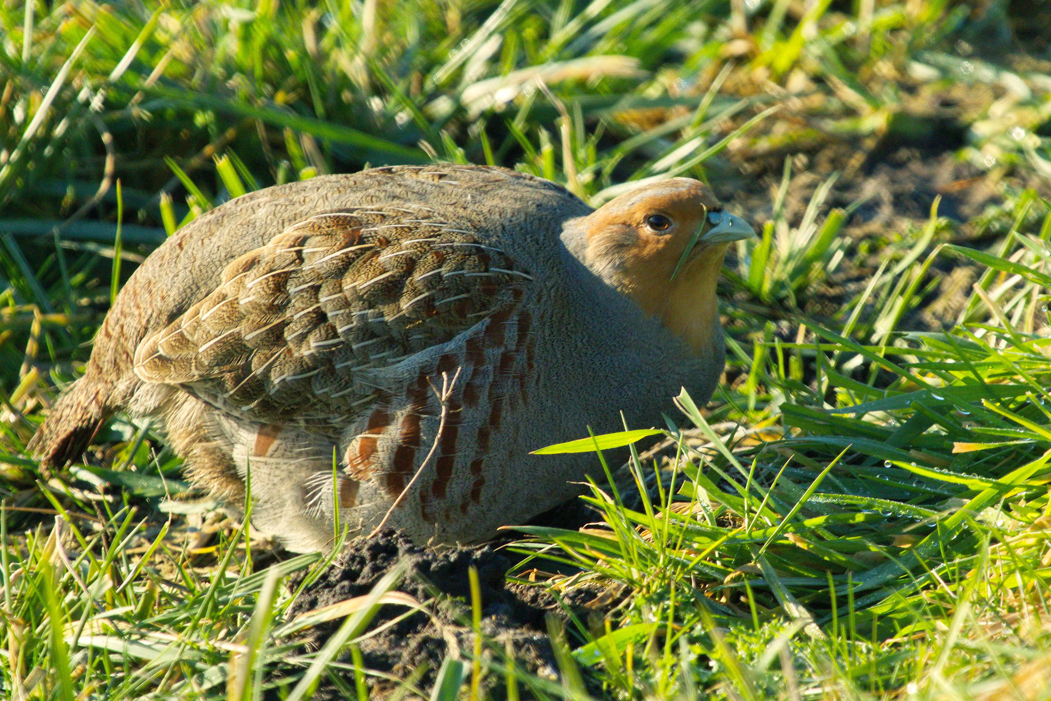 How Much Does It Cost >> File:Grey Partridge Perdix perdix, Netherlands 1.jpg - Wikimedia Commons