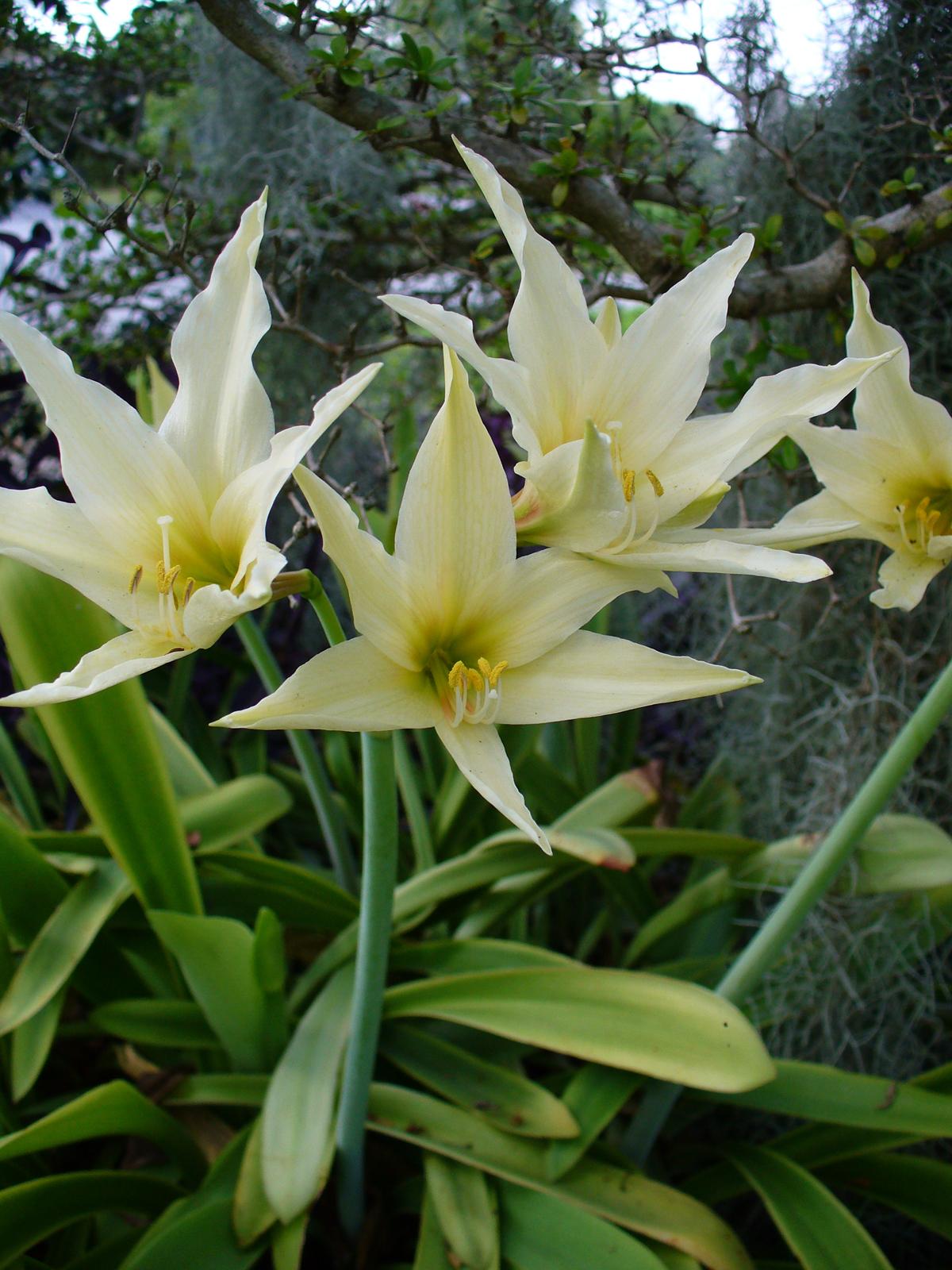 Hippeastrum evansiae wikipedia for Amaryllis hippeastrum