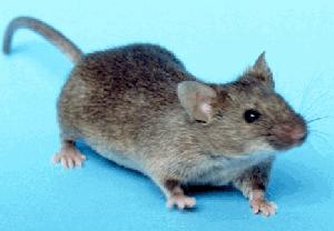 Image:House mouse.jpg