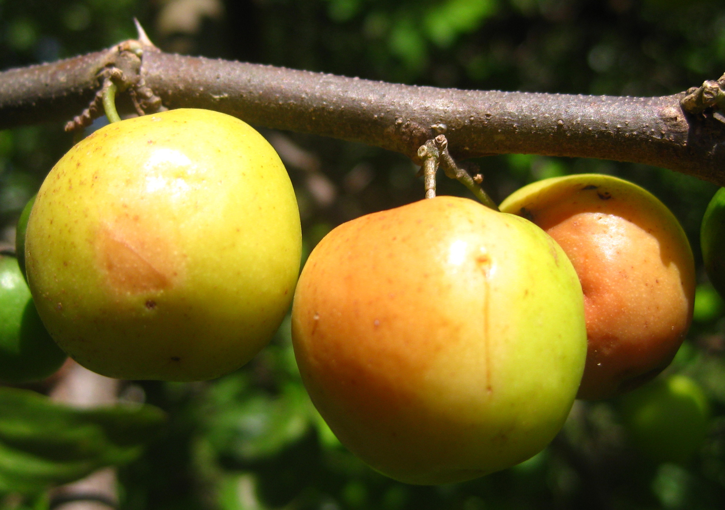 File:Indian jujube (4591421422).jpg - Wikimedia Commons