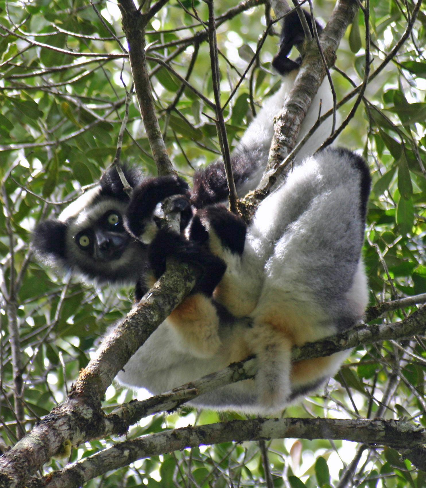 Indriidae Wikipedia
