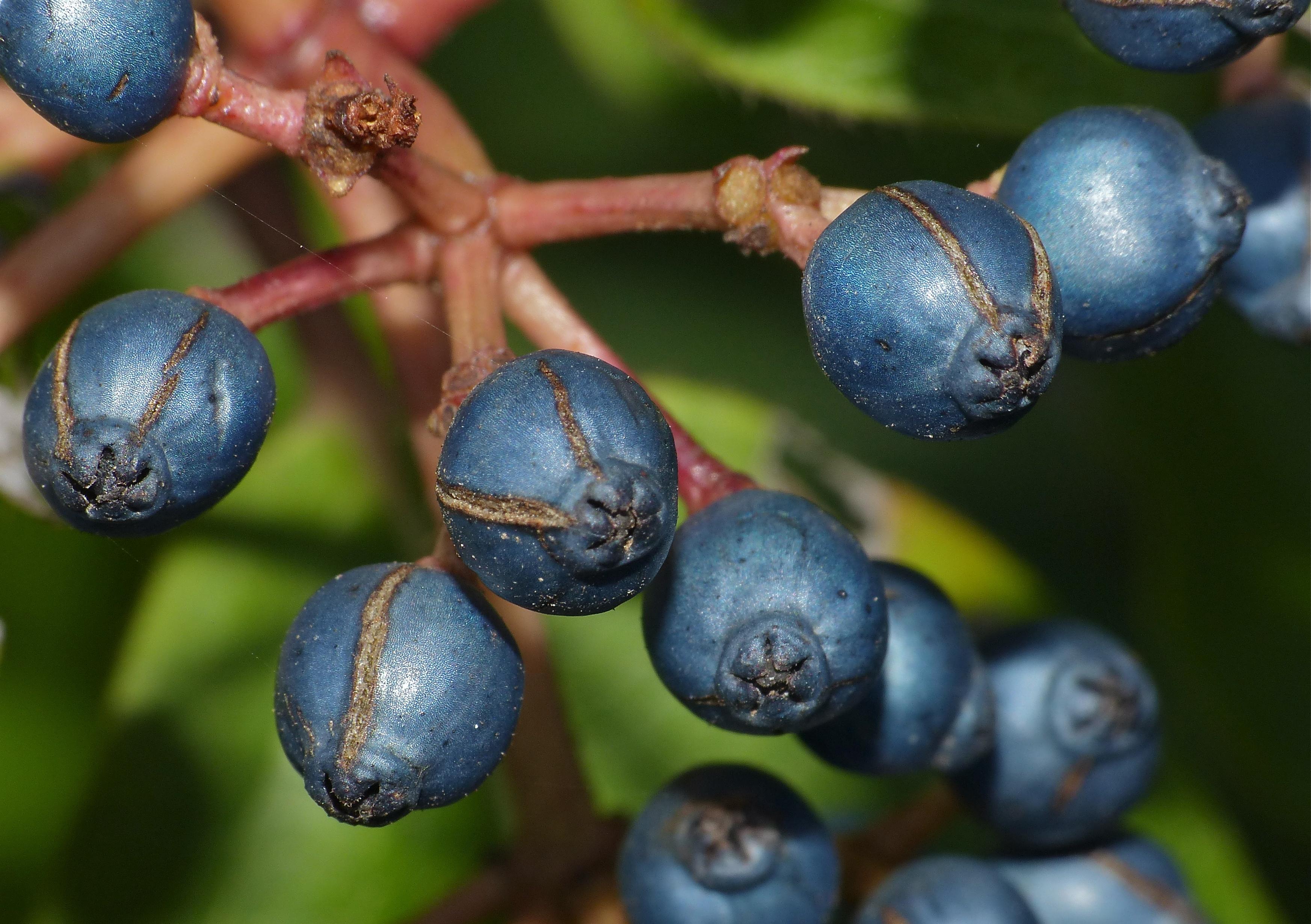 filelaurustinus viburnum tinus fruits close up 15726127869jpg