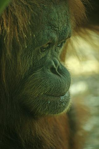 File:Lightmatter sad orangutan.jpg