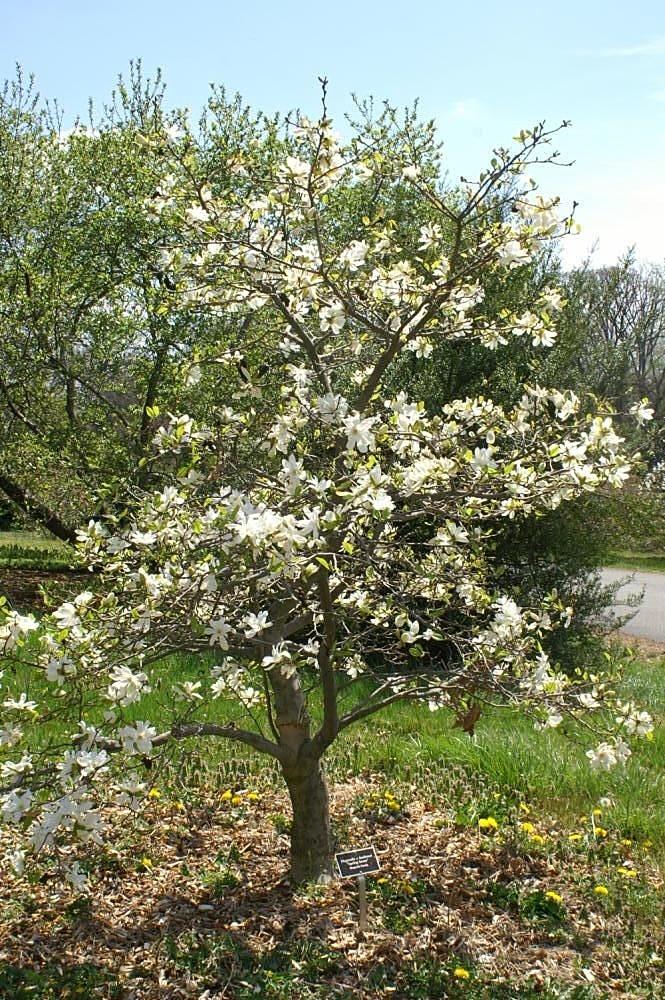 File Magnolia X Loebneri Spring Snow 3zz Jpg Wikimedia Commons