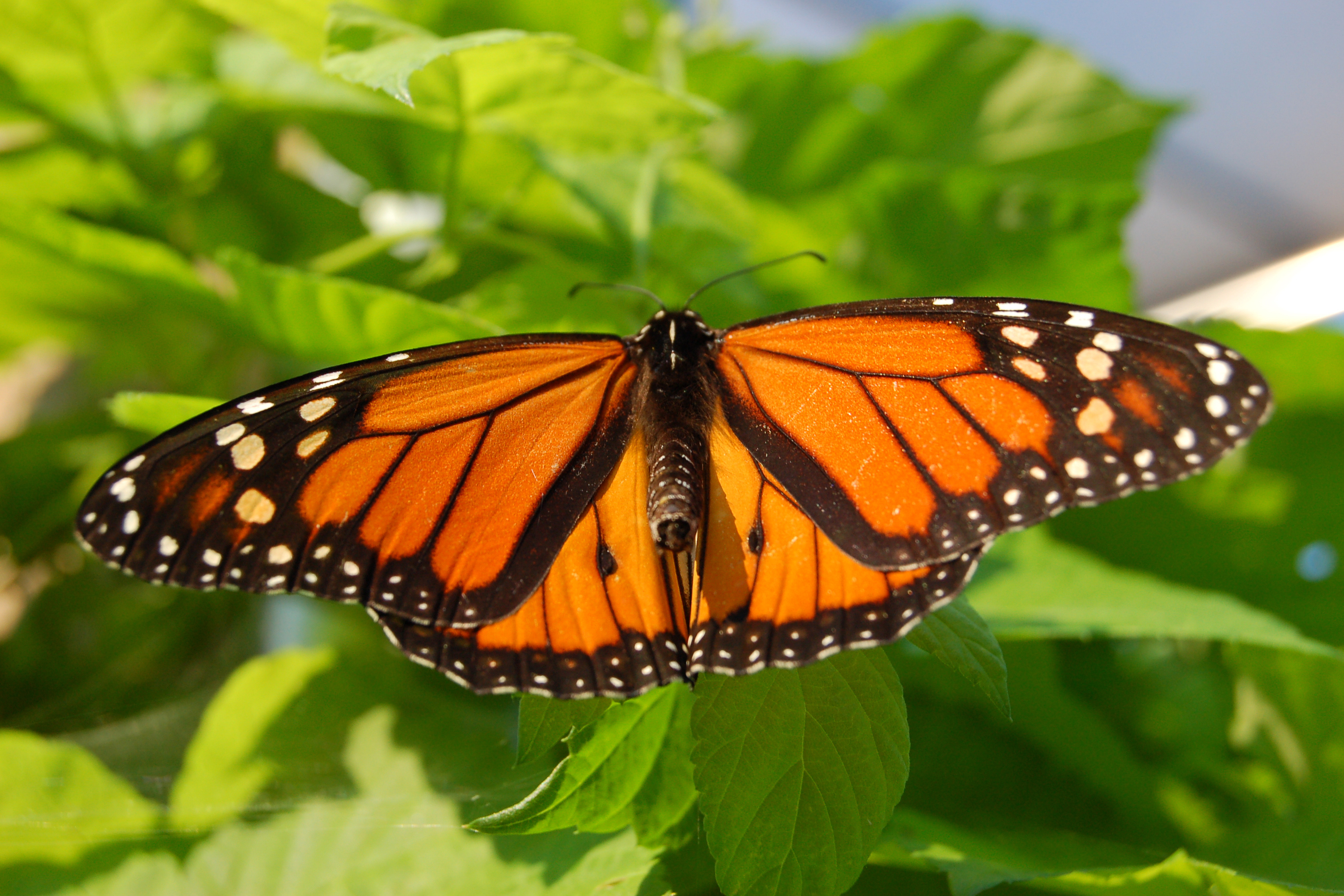 file monarch butterfly showy male wikipedia. Black Bedroom Furniture Sets. Home Design Ideas