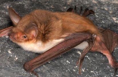 A Myotis vivesi gets as old as 10 years