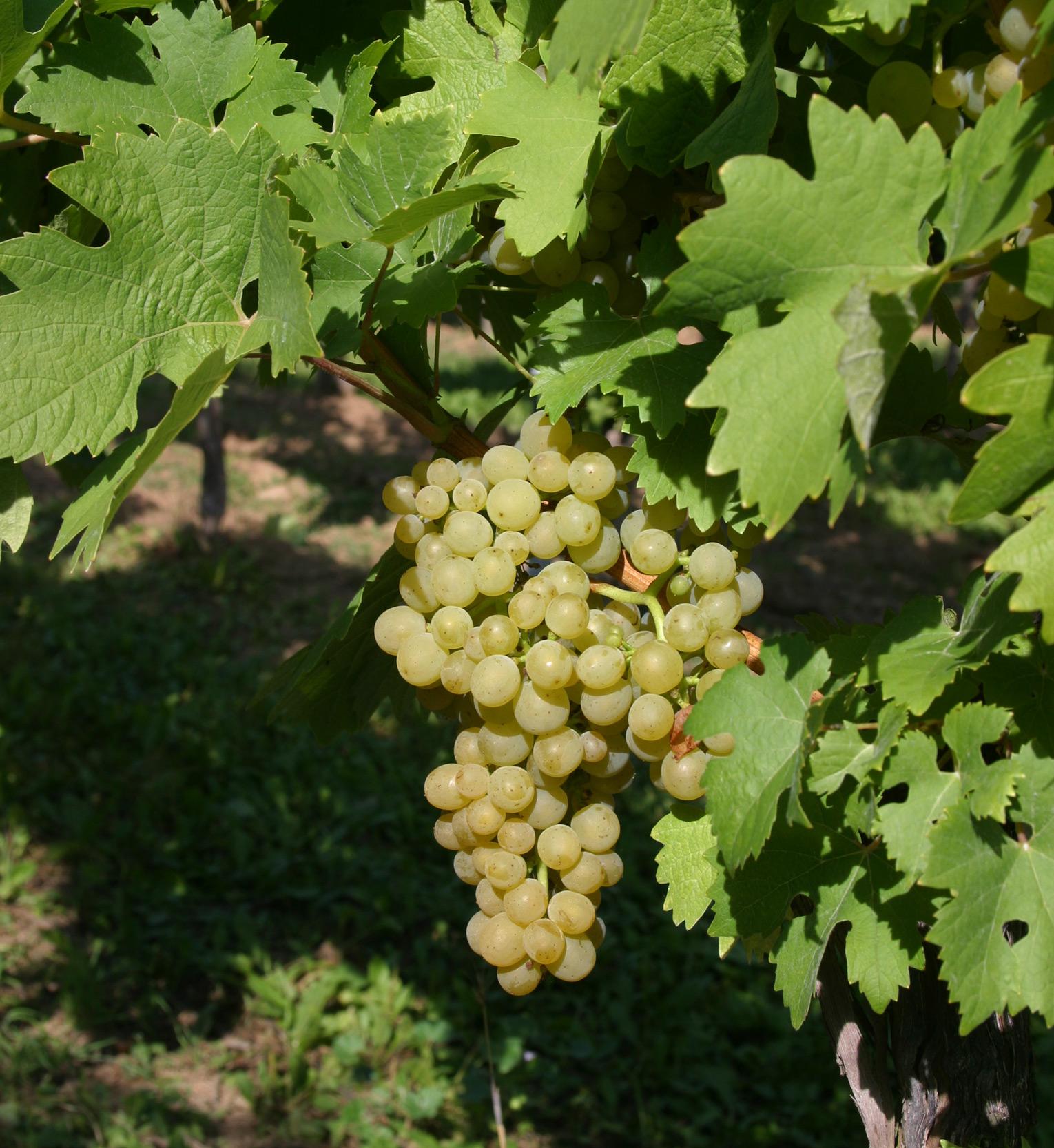 Ortega (grape) - Wikipedia