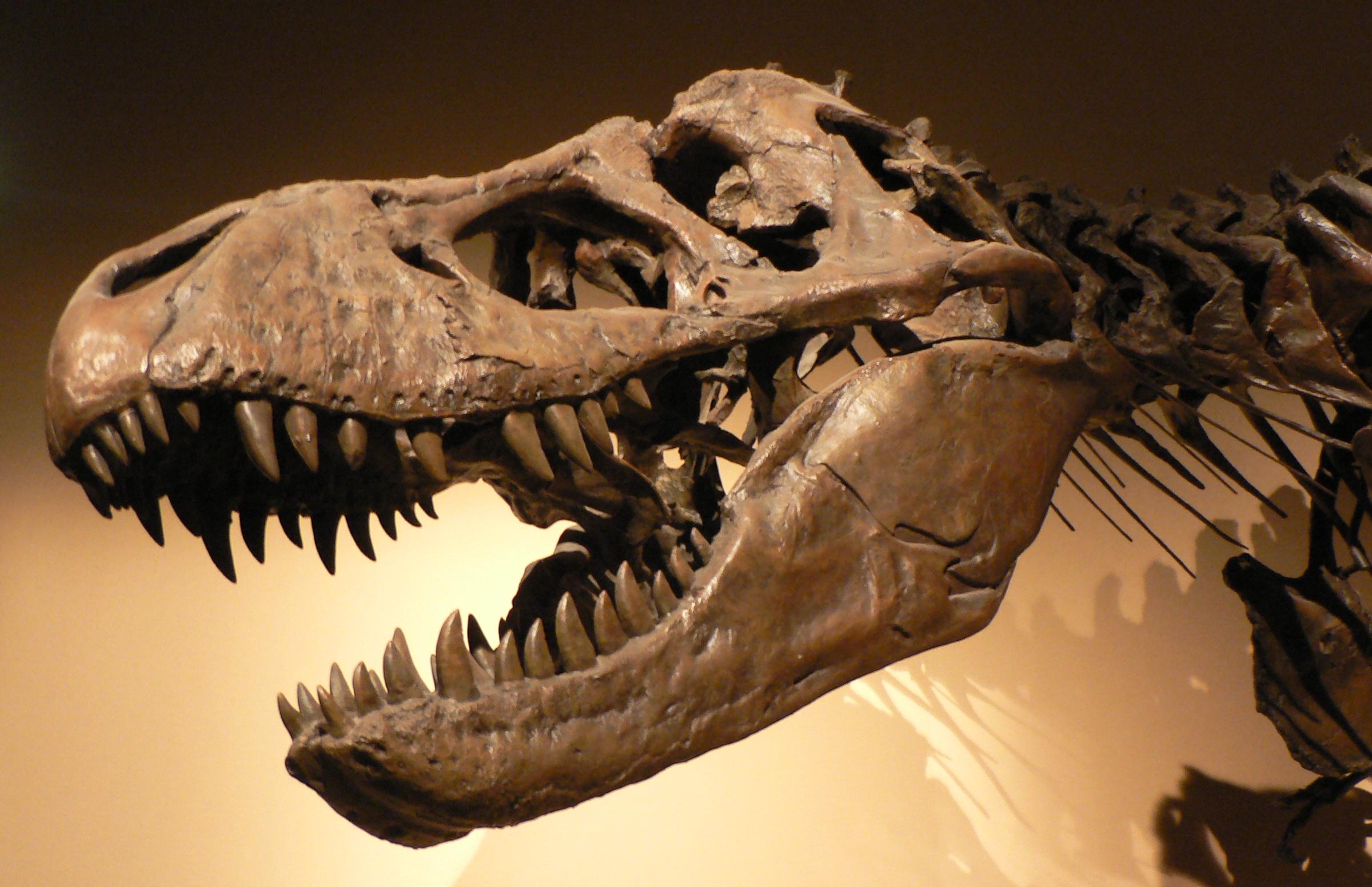 http://upload.wikimedia.org/wikipedia/commons/a/ab/Palais_de_la_Decouverte_Tyrannosaurus_rex_p1050042.jpg