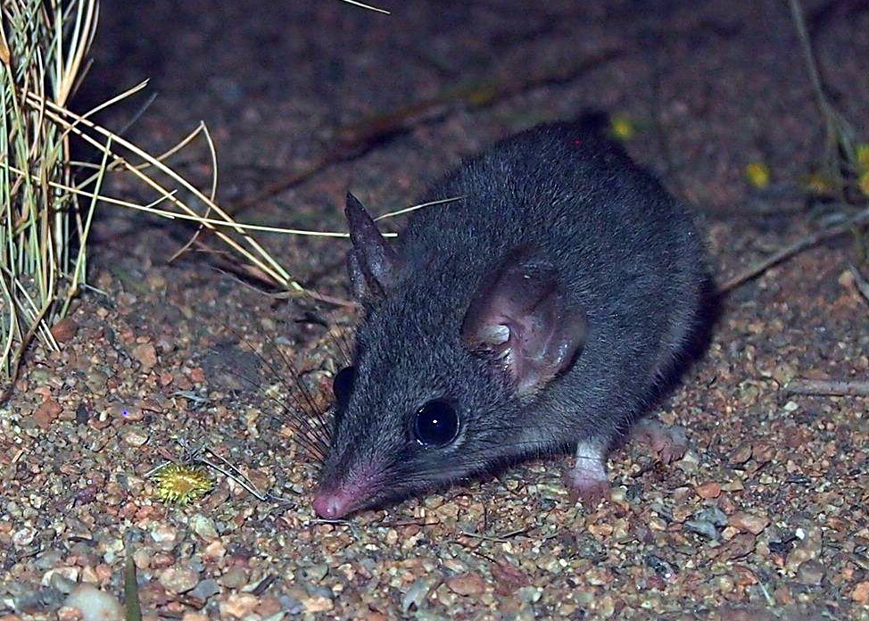 The average litter size of a Red-tailed phascogale is 7