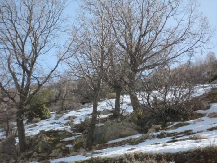 קבוצת עצים בשלכת במעלה החרמון