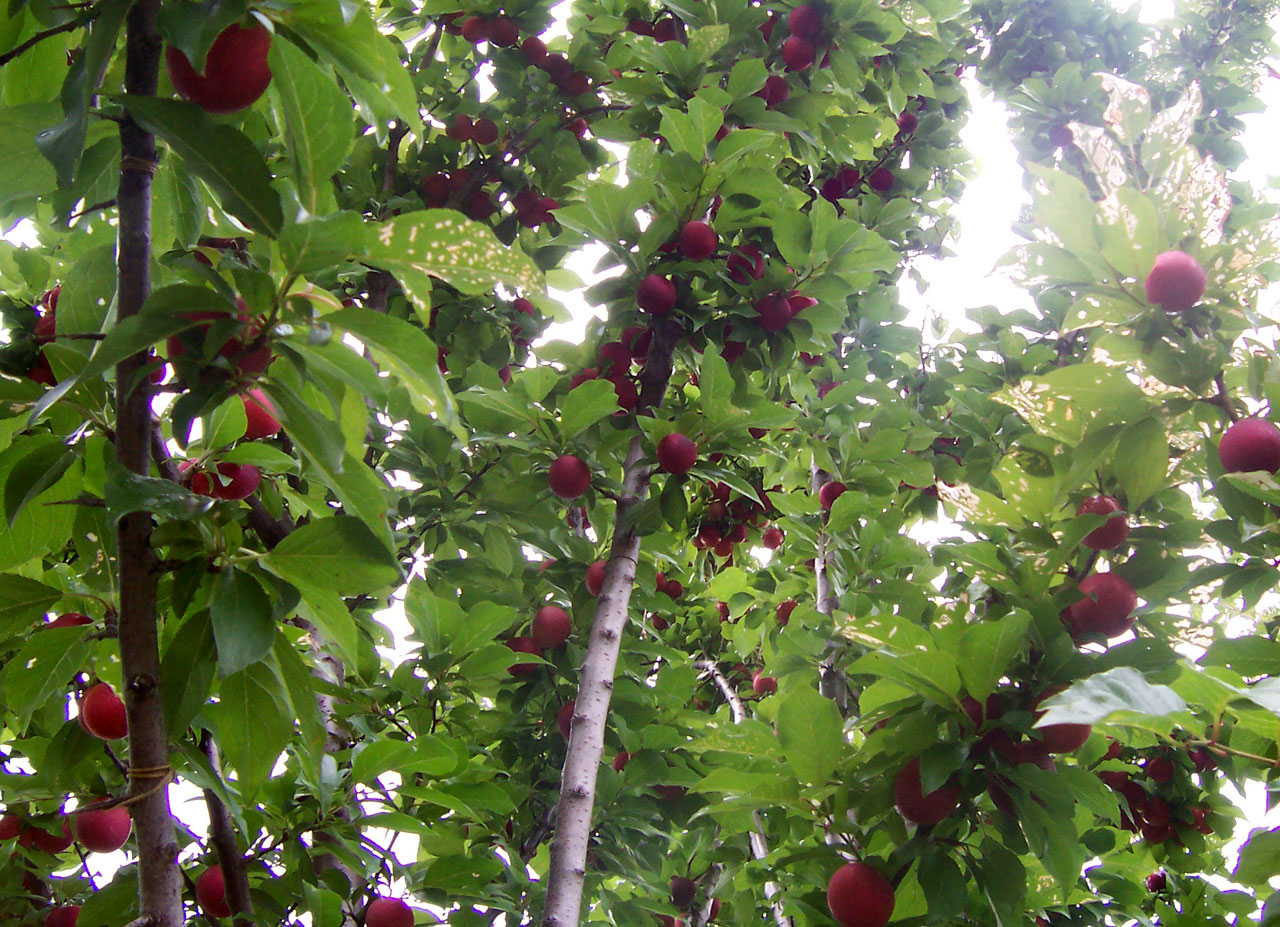 Description Plum tree with fruit.jpg