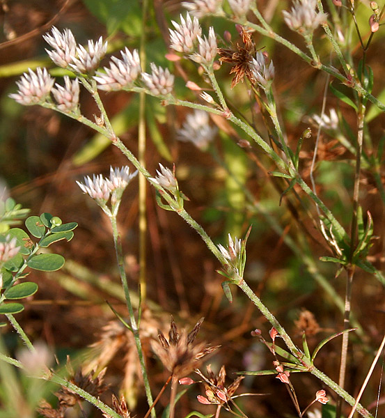 പ്രമാണം:Polycarpaea corymbosa W2 IMG 3047.jpg