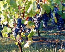 Pinot noir grapes hanging on the vine in the C...