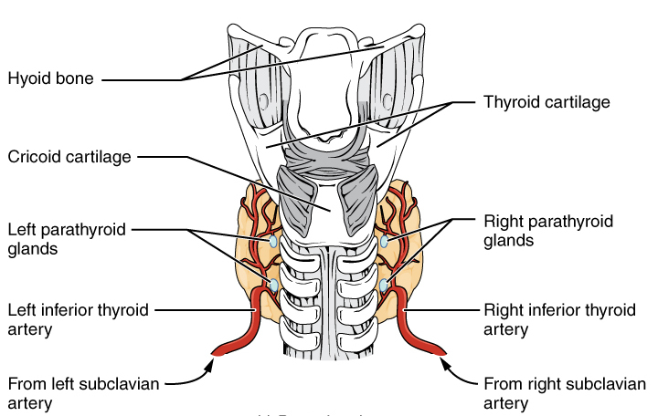 Posterior Thyroid Diagram Trusted Wiring Diagram