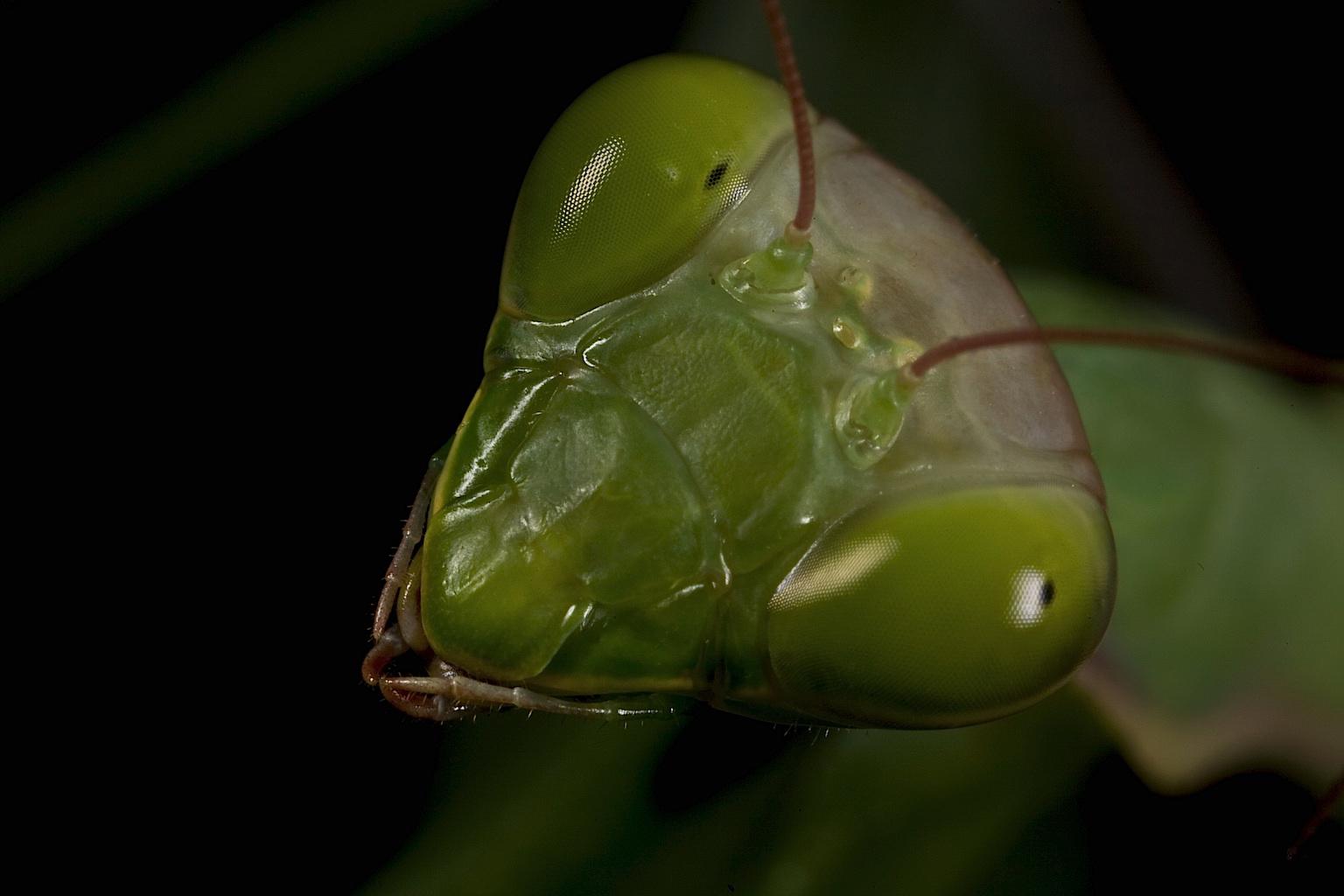 how to tell sex of praying mantis