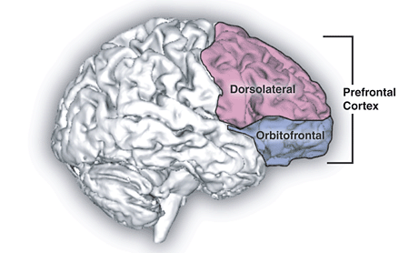 An image of the brain. The prefrontal cortex is highlighted which is linked to trait hope