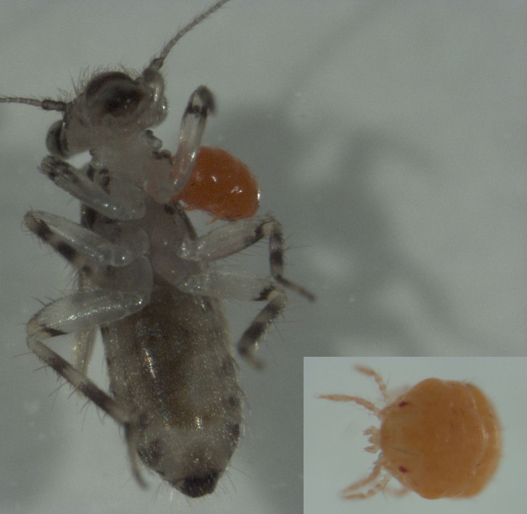 File psocopteran with mite wikimedia commons - Mite alimentaire larve ...