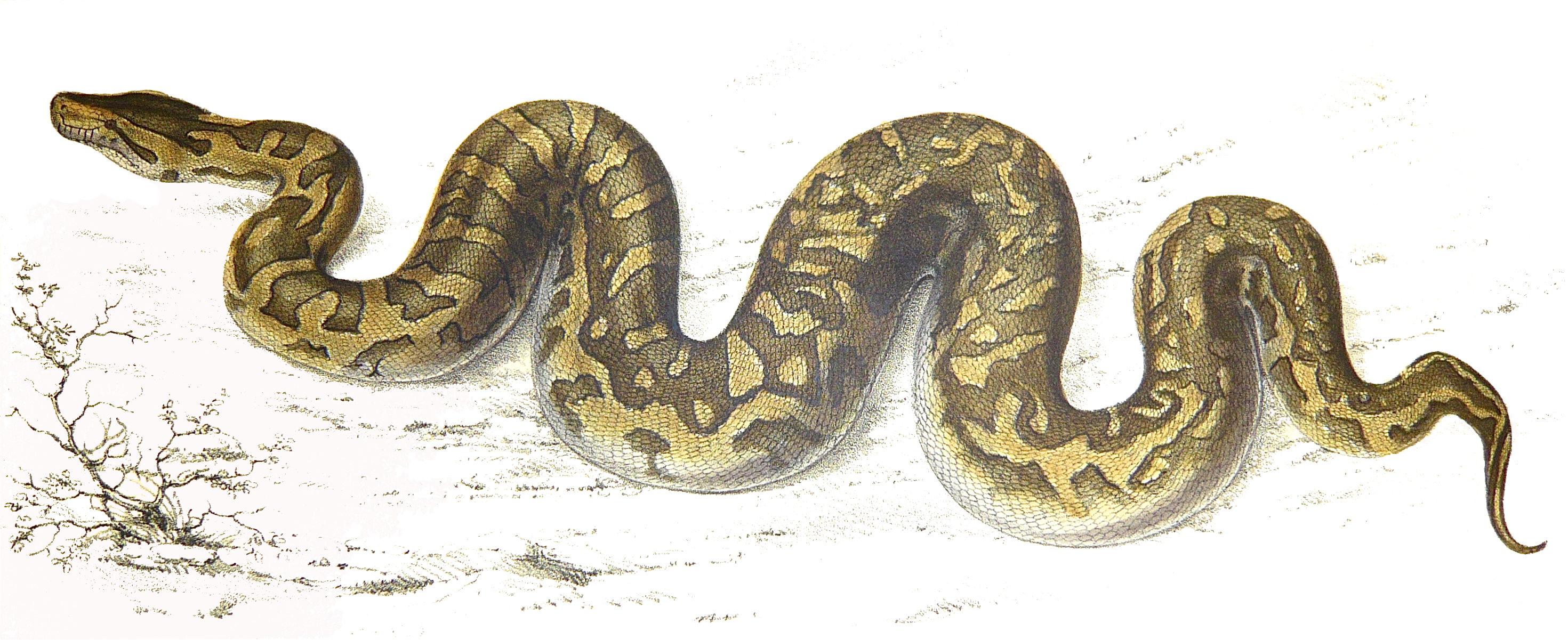 Sir Andrew Smith - A. Smith: Illustrations of the zoology of South Africa, Reptilia. Smith, Elder, and Co., London 1840 PYTHON NATALENSIS (Southern African Python) (Reptilia Plate 9) in A. Smith: Illustrations of the zoology of South Africa, Reptilia. Smith, Elder, and Co., London 1840