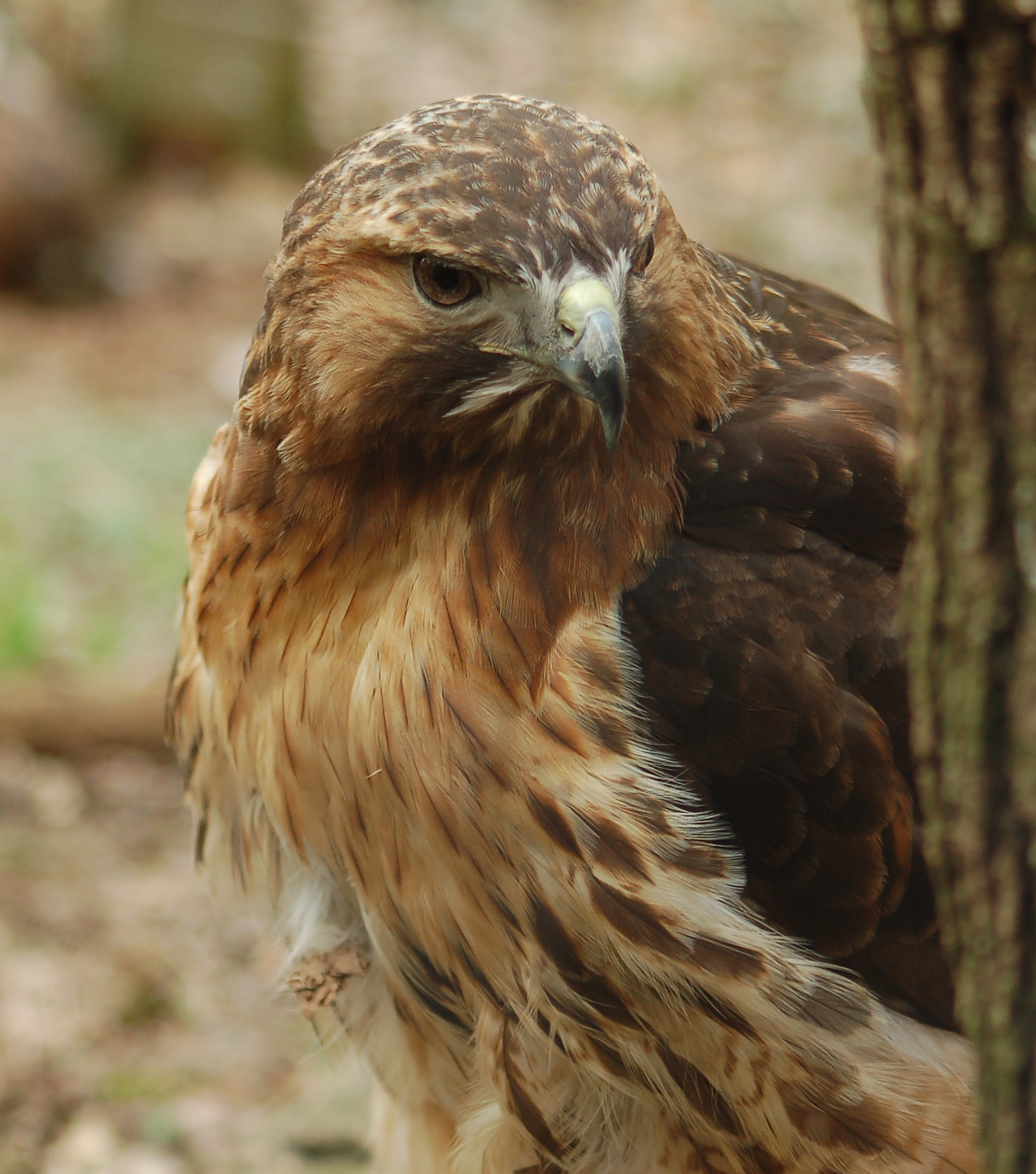 File:Red-tailed Hawk Buteo jamaicensis Head 1500px.jpg ...