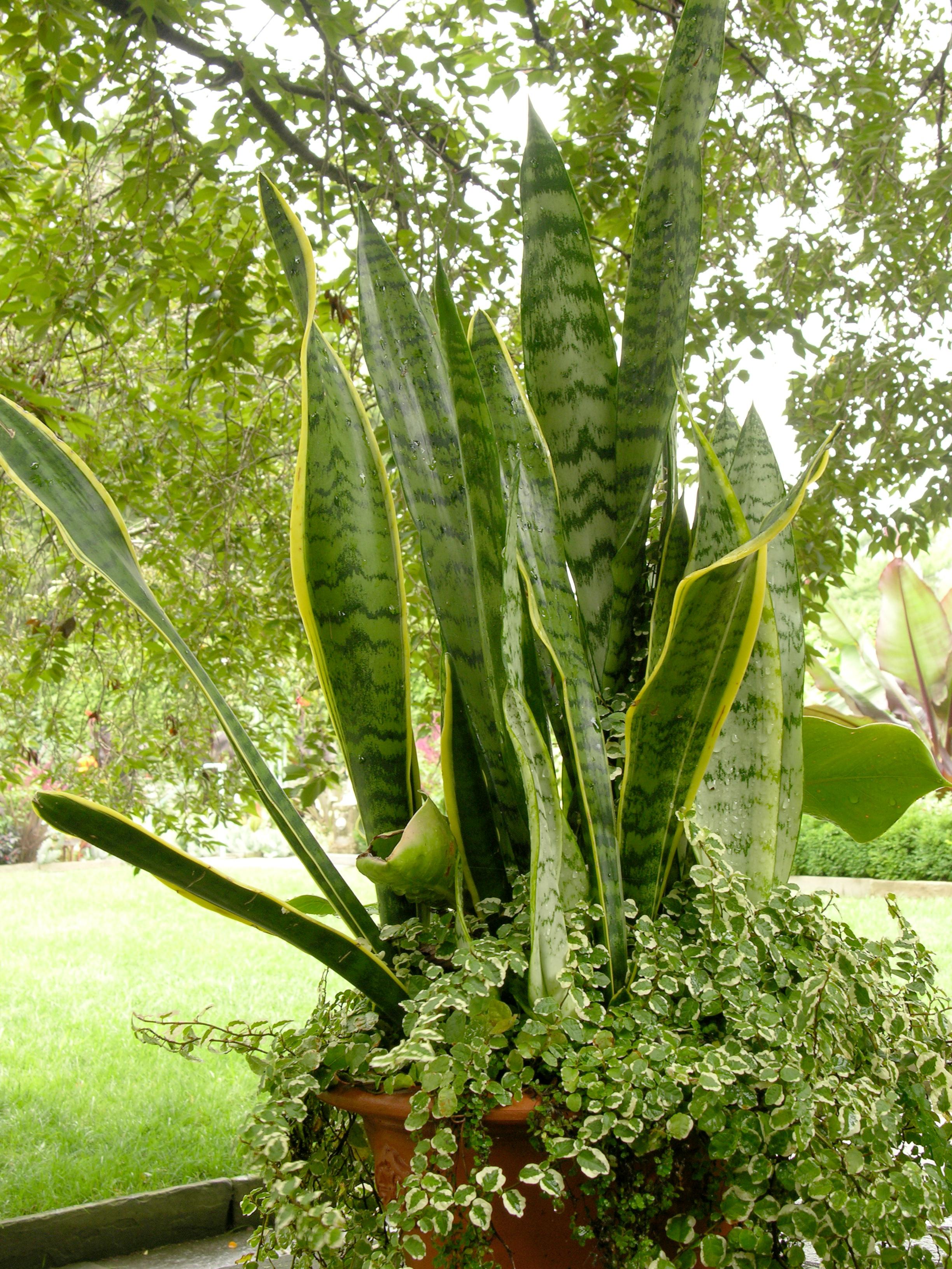 Maravilhas naturais preserve as plantas que funcionam como purificadores de ar - Plantas de interior que no necesitan luz ...