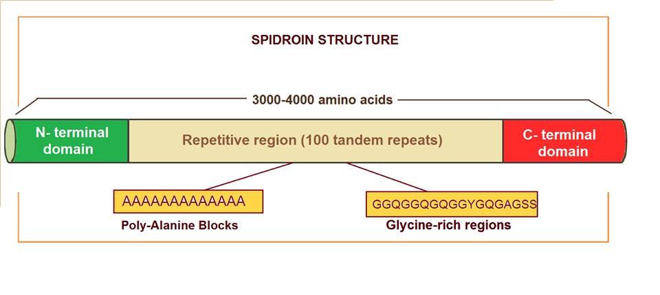 Spidroin
