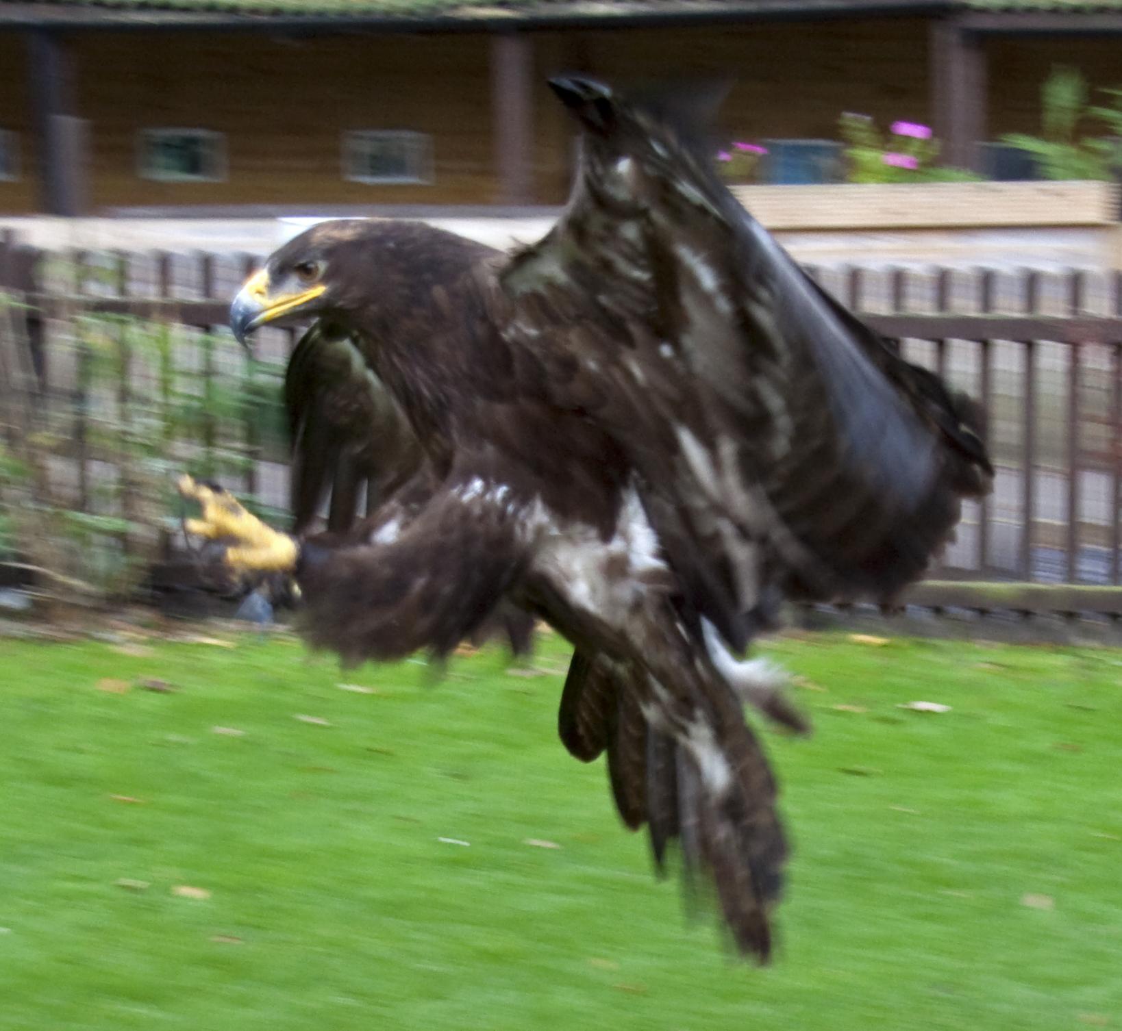 Wikipedia Steppe Eagle File:steppe Eagle 3