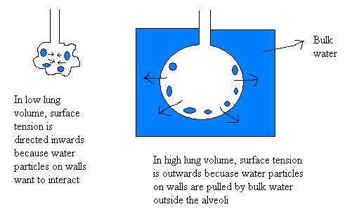 Surface tension and lung volume.jpg