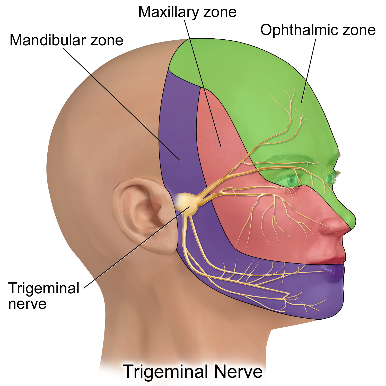 File:Trigeminal Nerve.png - Wikimedia Commons