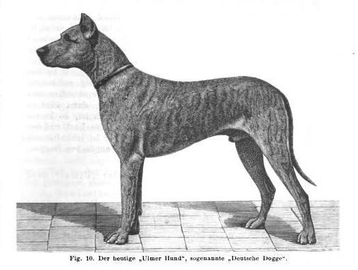 File:Ulmer Hund, sogenannte Deutsche Dogge 1900.png