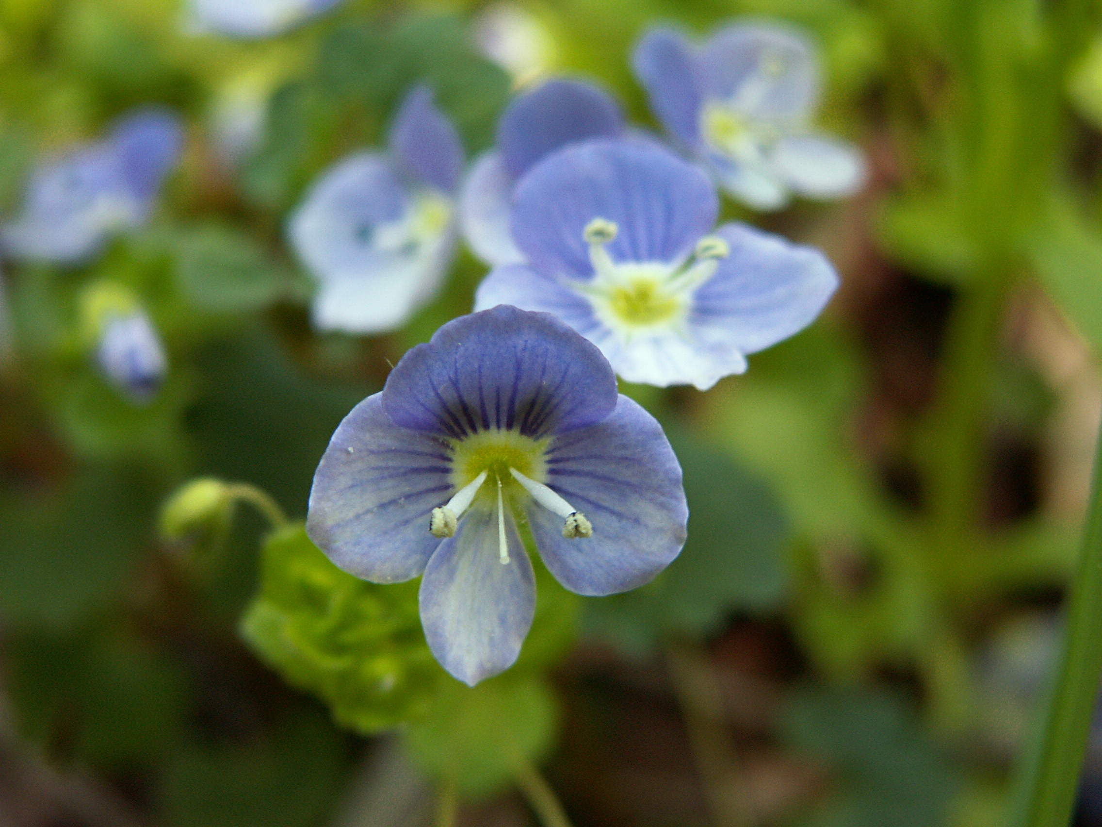 Scrophulariaceae Flora Pittsburghensis