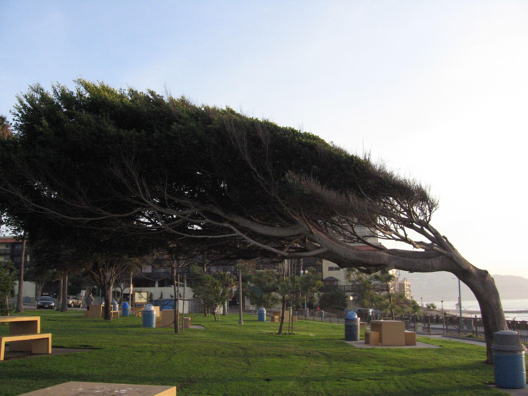 File:Windswept tree - Redondo.jpg - Wikimedia Commons