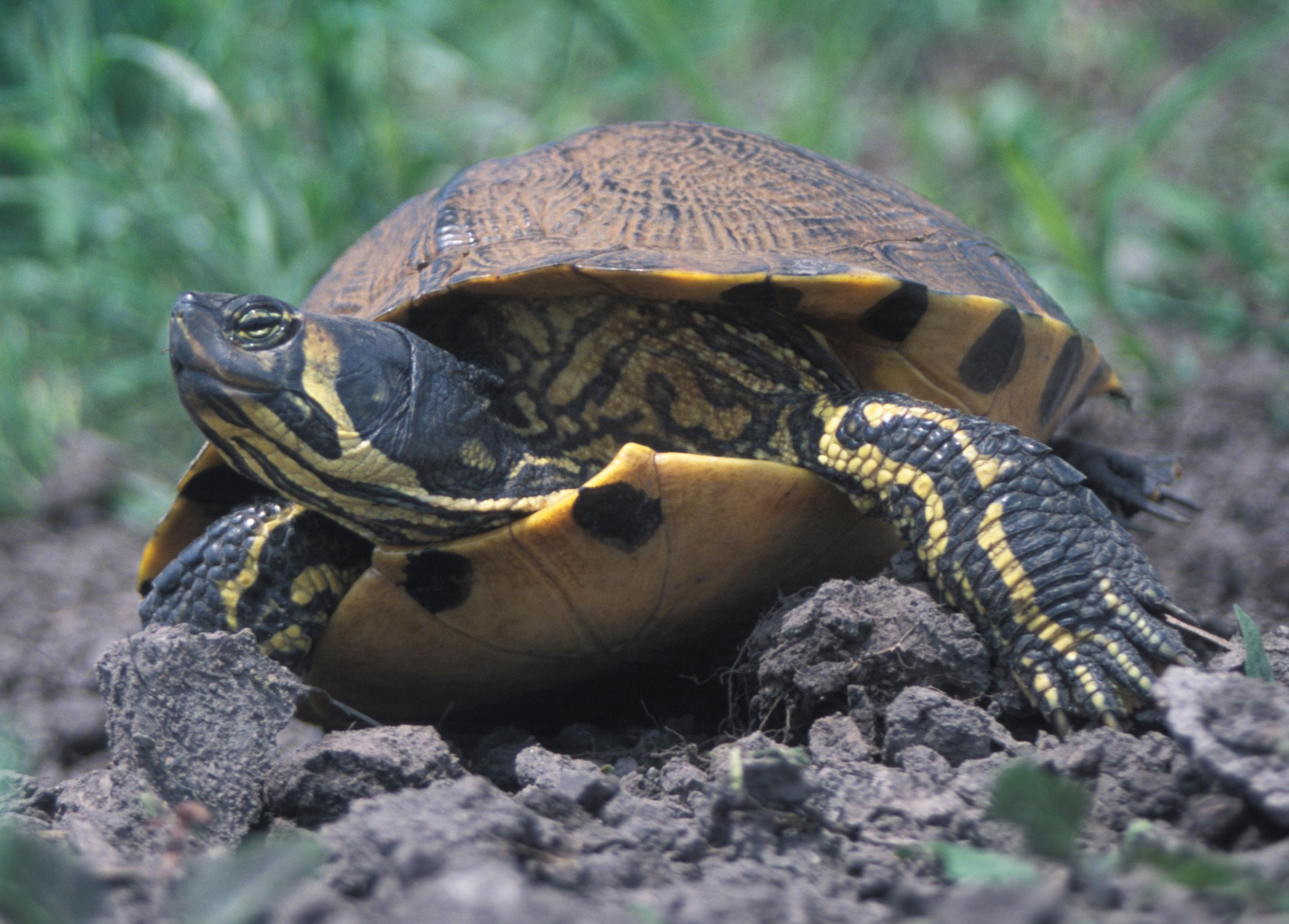 Nordamerikanische Buchstaben-Schmuckschildkröte