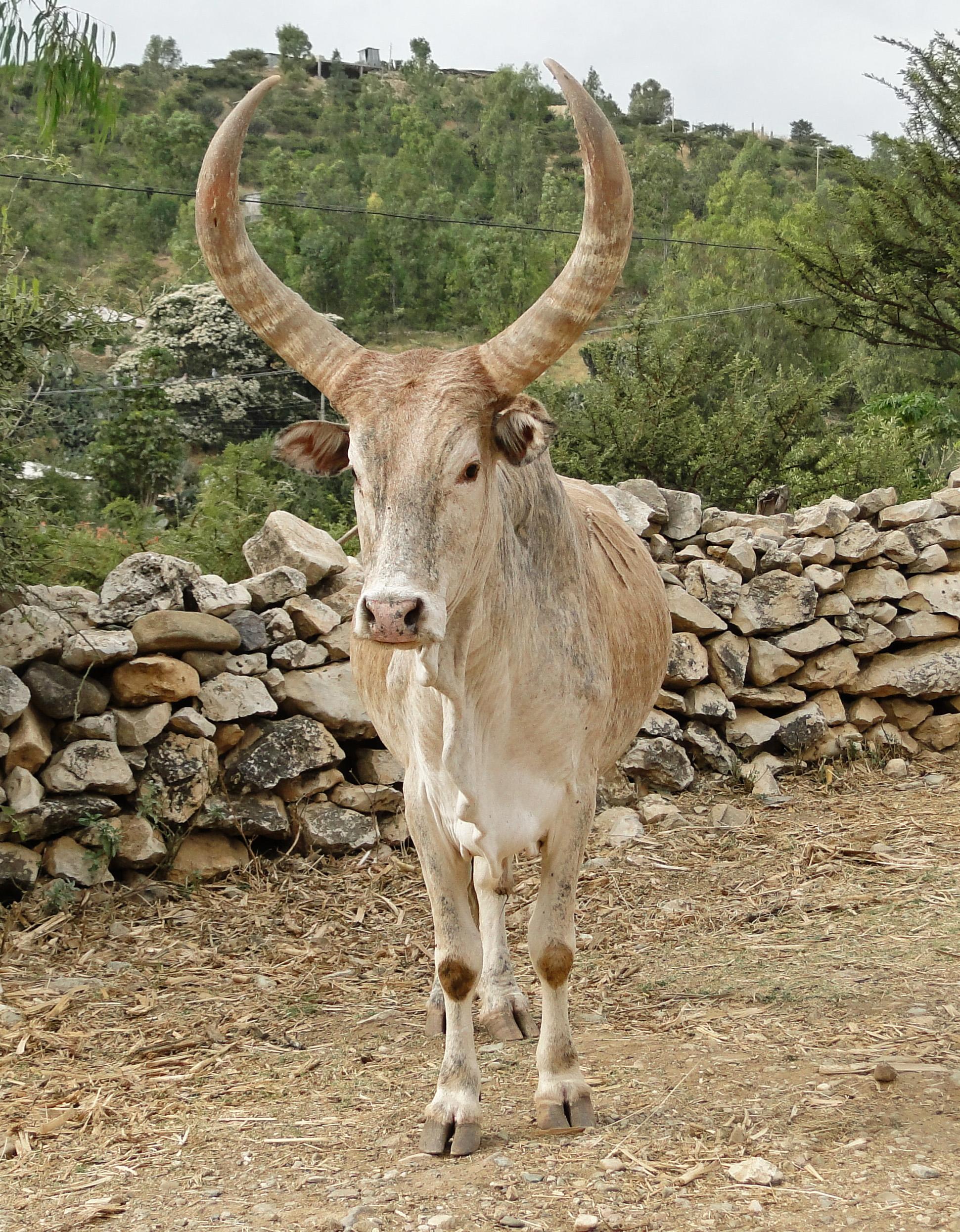 file zebu in ethiopia 01 jpg wikimedia commons