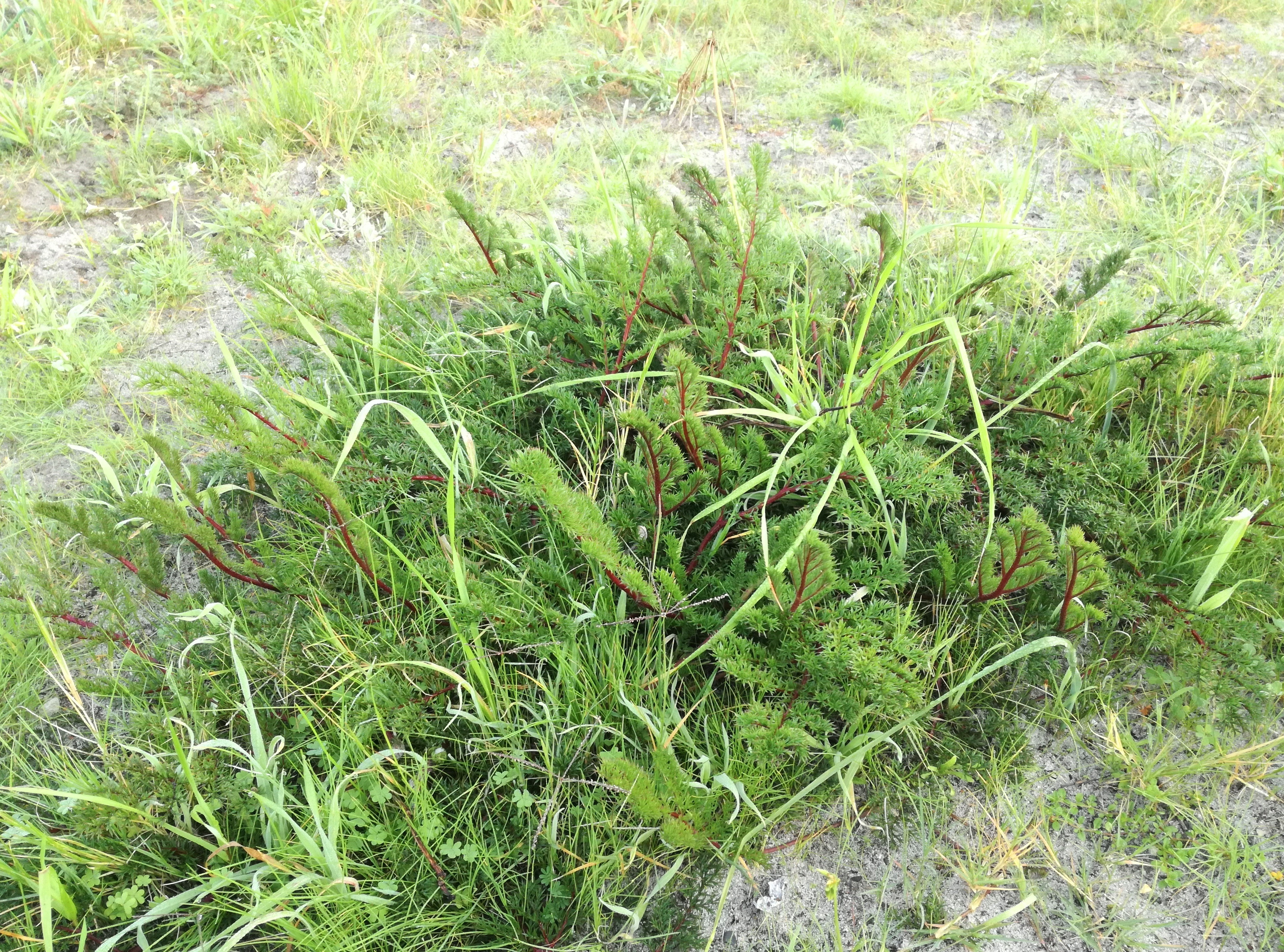 1 pelargonium triste - kenwyn nature park - cape town a.jpg