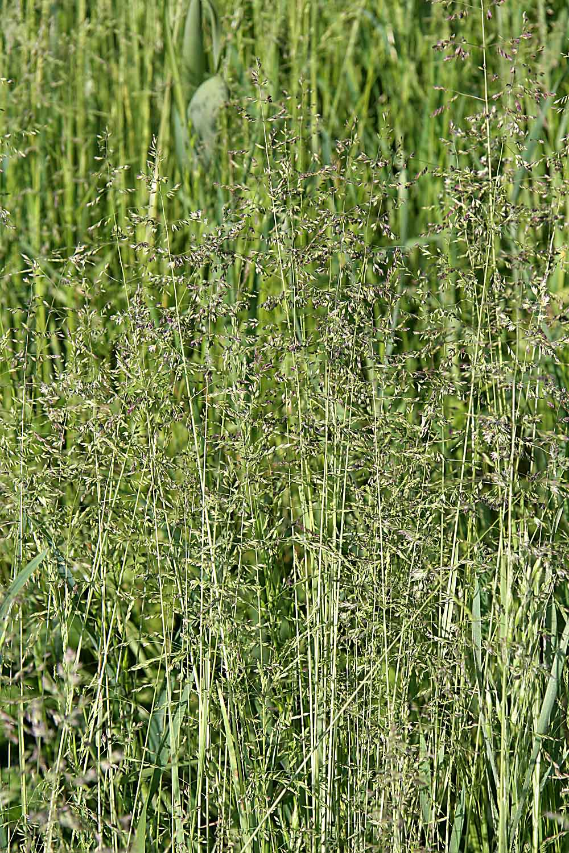 Psinček tenučký (Agrostis capillaris)