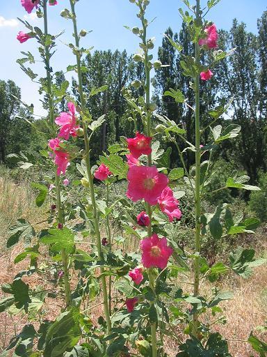 Alcea rosea wikipedia la enciclopedia libre for Malvarrosa planta