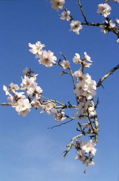 File:Almond flower.jpg