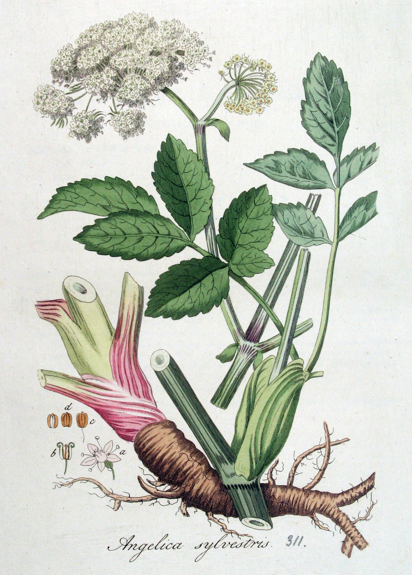 https://upload.wikimedia.org/wikipedia/commons/a/ac/Angelica_sylvestris_%E2%80%94_Flora_Batava_%E2%80%94_Volume_v4.jpg