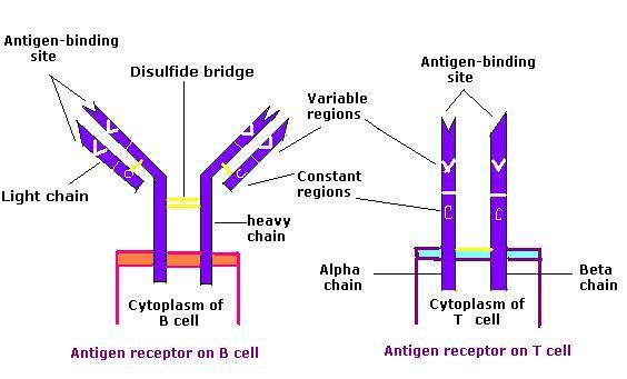K Antigen Structural Bioc...