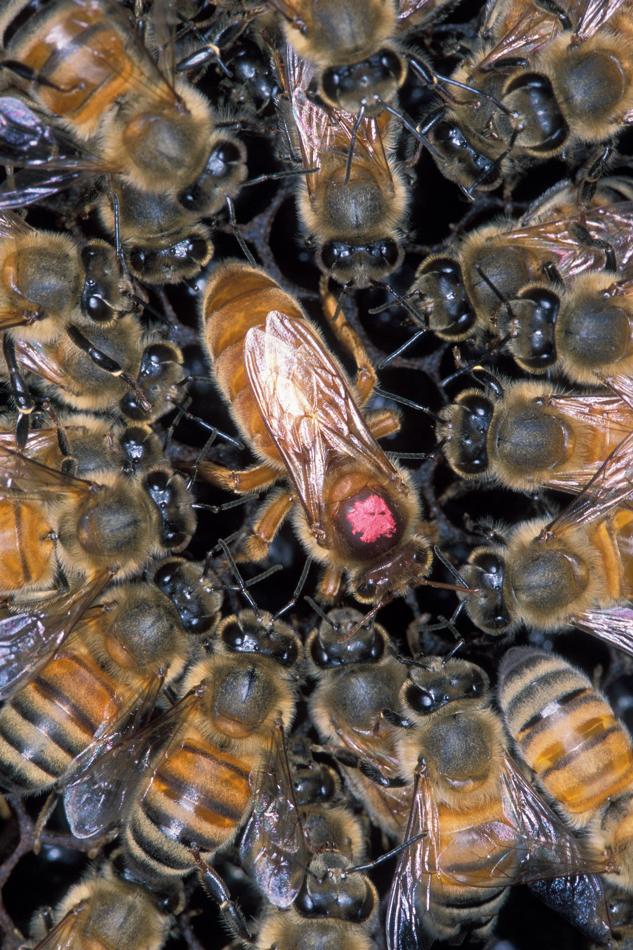 Queen Bee Wikipedia